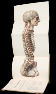 Nicolas Henri Jacob, illustration du traité de Jean-Marc Bourgery, Traité complet de l'anatomie de l'homme, 1831-1854