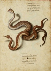 Jacopo Ligozzi, Deux serpents venimeux, 1550-1600