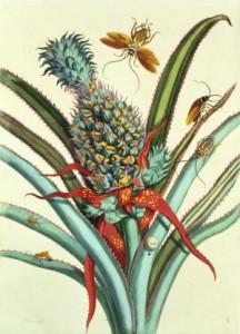 Maria Sibylla Merian, Dissertation in Insect Generations and Metamorphosis in Surinam, planche n°1, 1719