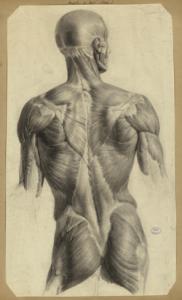 Nicolas Henri Jacob, Écorché des muscles du dos, étude préparatoire pour le Traité complet de l'anatomie de l'Homme de Jean-Baptiste-Marc Bourgery, 1831-1854, Paris, BIU Santé, cote : Ms81